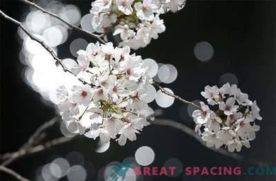 Misteriosi fiori di ciliegio dallo spazio